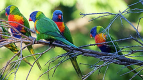 Arc-en-ciel Lorikeets Photographie stock