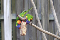 Arc-en-ciel Lorikeets Photos libres de droits