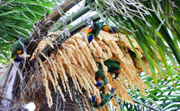 Arc-en-ciel Lorikeets Photo libre de droits