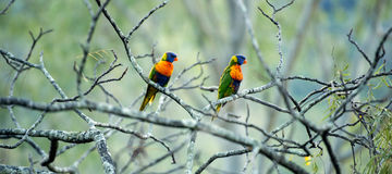 Arc-en-ciel Lorikeets Images stock