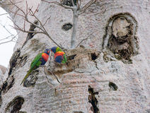 Arc-en-ciel Lorikeets dans l'arbre de Boab Image stock