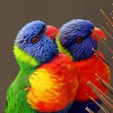 Arc-en-ciel Lorikeets, haematodus de Trichoglossus Photo stock
