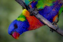 Arc-en-ciel Lorrikeet Photographie stock libre de droits