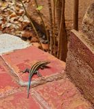 Arc-en-ciel Skink Photo libre de droits