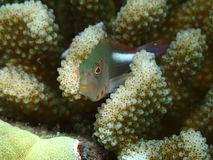 Arc-Eye Hawkfish Stock Photos