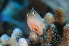 Arc-eye hawkfish Royalty Free Stock Photography