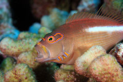 Arc-eye hawkfish Stock Images