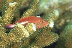 Arc-eye hawkfish. (paracinhites arcatus) hiding between corrals Stock Photo