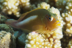 Arc-eye hawkfish Royalty Free Stock Image