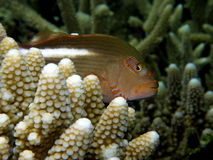 Arc-eye Hawkfish Fiji. On Coral Stock Photography