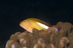 Arc eye Hawkfish (Paracirrhites arcatus) Royalty Free Stock Photo