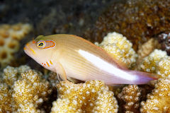 Arc Eye Hawkfish, Paracirrihites arcatus Stock Images