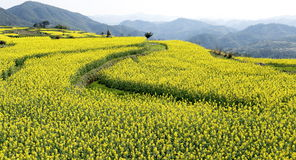 Arc strip of the rape, mountains in the distance. Yellow green interval, many layers of terraced fields on the hillside Stock Photo