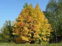 Arce amarillo doble, otoño de oro Fotos de archivo