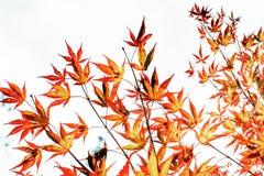 Arce chino Fotografía de archivo libre de regalías