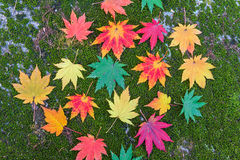 Arce colorido en otoño en Corea Fotos de archivo