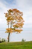 Arce con abajo caidas las hojas en la costa Foto de archivo
