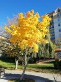 Arce con las hojas amarillas imagenes de archivo