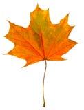 Arce de la hoja del otoño aislado Fotos de archivo