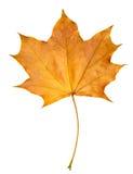 Arce de la hoja del otoño aislado Foto de archivo libre de regalías