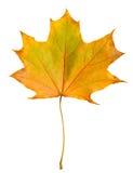 Arce de la hoja del otoño aislado Imagenes de archivo