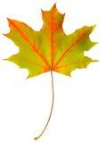 Arce de la hoja del otoño aislado Imagen de archivo
