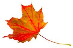 Arce de la hoja del otoño aislado Fotografía de archivo libre de regalías