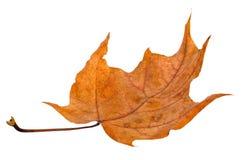 Arce de la hoja del otoño aislado Fotografía de archivo
