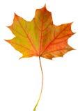 Arce de la hoja del otoño aislado Imagen de archivo libre de regalías