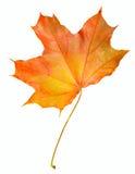 Arce de la hoja del otoño aislado Imágenes de archivo libres de regalías