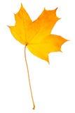 Arce de la hoja del otoño aislado Foto de archivo