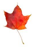Arce de la hoja del otoño aislado Fotos de archivo libres de regalías