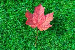 Arce de la hoja del otoño en hierba verde Imagenes de archivo
