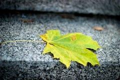 Arce de la hoja del otoño, hoja de arce de color verde amarillo Imagenes de archivo