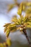 Arce de Noruega (platanoides de Acer) contra el cielo azul, backlite, primavera Imágenes de archivo libres de regalías