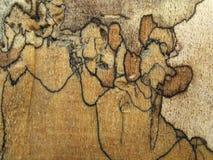 Arce de Spalted Fotografía de archivo libre de regalías
