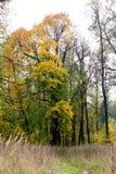 Arce del otoño Fotos de archivo