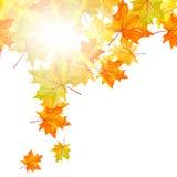 Arce del otoño Foto de archivo libre de regalías