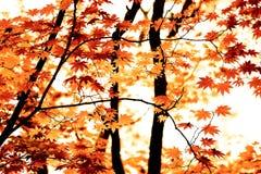 Arce del otoño Imagen de archivo libre de regalías