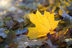 Arce del otoño de la falta de definición de las hojas de otoño de Sun Foto de archivo libre de regalías