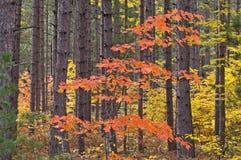 Arce del otoño en pinos Fotografía de archivo