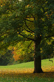 Arce en el parque Foto de archivo libre de regalías