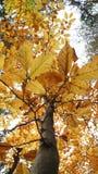 Arce en otoño, Austria Fotos de archivo