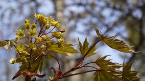 Arce floreciente en primavera Rama verde joven hermosa del árbol que balancea en el viento Platanoides de Acer Lanzamiento de los almacen de metraje de vídeo