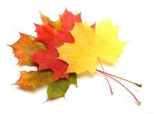 Arce-hoja Imagen de archivo libre de regalías