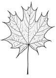 Arce-hoja del otoño Imagenes de archivo