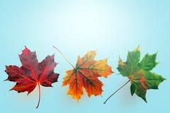 Arce, hoja del otoño del diverso del color fotos de archivo libres de regalías