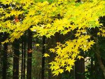 Arce japonés coloreado Imagenes de archivo