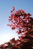 Arce japonés contra el cielo azul Foto de archivo libre de regalías
