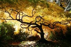 Arce japonés de los bonsais Fotografía de archivo libre de regalías